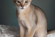 Awesome Abyssinian Cats / Abyssinian cats are beautiful.