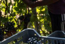 Harvest 2015 - CAMPO LAVEI / Continua in questi giorni la vendemmia a #CampoLavei.  La nostra vigna storica del Valpolicella che anche quest'anno ci sta regalando soddisfazioni importanti. http://bit.ly/1jxusQf