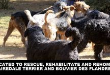 WOLFSHAVEN / Our beautiful Airedale Terrier and Bouvier des Flandres rescues
