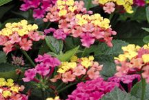 LANTANA / If you have a hot, baked spot, lantana is your answer. This hardworking plant not only thrives with little moisture and in full, unyielding sun, it does so with ease. In fact, lantana is a flower that seems to have it all: It produces an abundance of brightly colored flowers all summer and fall, and it's a magnet for butterflies (hummingbirds like it, too). It's easy to grow and a great choice for containers
