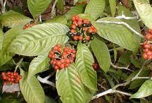 psychotria viridis dziara