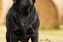 Labrador retriver negro