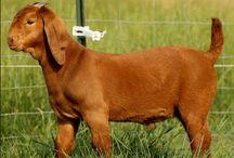 Caprinos Kalahari Reds / Raça de caprinos predominate na Africa do Sul