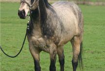 American Quarter Horses•