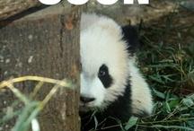 Pandas are better!