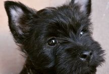 If you like grey cairn terriers
