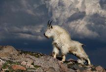 снежная коза / снежная коза