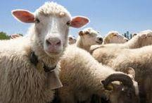 2owce / owce,ekologia