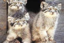 pallas cat cat's