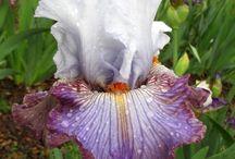 iris / iris