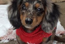 Dachshunds Are Cute