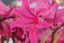 """Nerinen / Die Nerine ist ein aus Südafrika stammendes Zwiebelgewächs, das dank professioneller Veredelung hierzulande winterhart ist. Kreuzungen zwischen der Nerine bowdenii und der Amaryllis belladonna werden """"Amarine"""" genannt und blühen im Garten mehrere Jahre lang. Probieren Sie diese Neuheiten für ihren Herbstgarten aus!"""