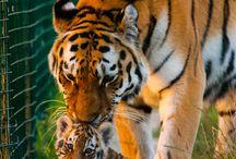 tigers....