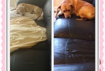 My Lab / My gorgeous girl 12 weeks to 6 years later hehe