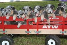 Heelers-The BEST dogs EVER!!! / ACD also known as Blue or Red Heelers. The BEST dogs ever ❤️ / by Laurie Welsh