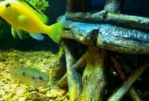 Freshwater Fish / Fish type and info:)