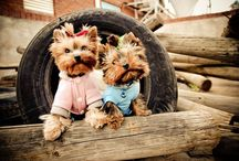 cutie-pie / Yorkies / by Carolyn perez