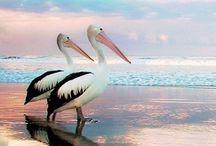 Pelicans! / Beware of badass pelicans!