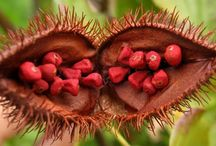Achiote / Achiote is a shrub or small tree originating from the Americas. Central and South American natives originally used the seeds to make red body paint and lipstick. its ground seeds are used as food colouring for butter, cheese, sausages, cakes & popcorn. Achiote leaves are used to wash wounds to promote healing. Boiled leaves are gargled to combat sore throat. Other medicinal uses include wound healing, thinning hair, treating heartburn etc. For more info visit http://www.lifegivingfoods.org/