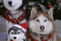 For the Furry Husky Kids <3 / by Stacey Stacey