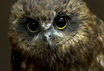 NZ Morepork and Birds of Prey