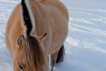 Norske hesteraser