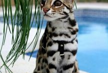Exotic Cats / All breed of Exotic Household Cats