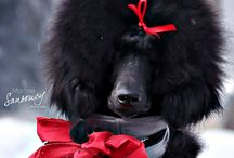 My Standard Poodle Robert / My standard poodle puppy Sir Robert!