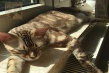 Egyptian Mau Katzenblog / Der Egyptian Mau Katzenblog: Bilder und Geschichten rund um die das Leben mit drei Katzen! Interessante News, Produkttests u.v.m.  Klickt rein: http://www.egyptianmaublog.at