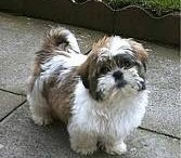 Random Photos of Shih Tzus / I love Shih Tzus! I own a shih tzu name Gigi.  She's 13 years old. They're one of the best dogs to own.  =) / by Lisa Santos