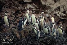 Paracas & Islas Ballestas / La Reserva Nacional de Paracas y las Islas Ballestas.