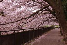 cherry blossom 2015