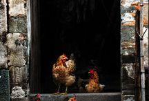 chickeny love
