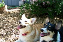 Corgis / by Carleen Coulter