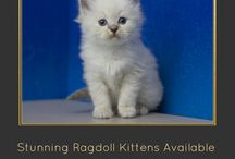 Ragdoll Kittens 3 / Ragdoll, Ragamuffin, Teacup, and Munchkin Kittens from www.RagdollKitten.us