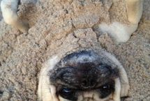 Pugs / I need a pug