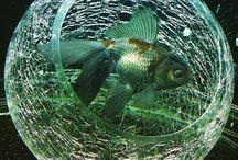 My fancy goldfish aquarium