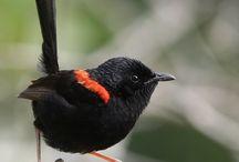 Dunia Burung / Aneka Burung