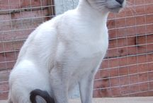 Siamese cat types / Blue point chocolate point  seal point lilac point