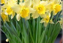 Narcisy(Narcissus)(Daffodils)