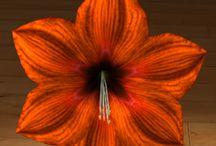 Amarylis / Amarylis Długie, ciemnozielone, sztywne liście. Na wysokiej łodydze pojawiają się latem białe, czerwone lub różowe kwiaty. Roślina idealnie nadaje się do ozdabiania naszych mieszkań, balkonów oraz tarasów.