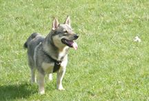 Swedish Vallhunds In the UK / Photos of Vallhunds I know