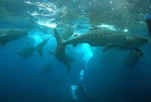 How To Dive with Whale Sharks