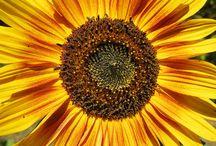 Sunflowers Galore