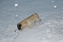 Snow Pugs / Our furry pug friends have mixed feelings about the winter wonderland outside.