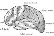 Sistema Nervioso Central / Médula espinal - Encéfalo