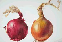 Botanical Paintings of Onions