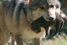 El lobo europeo / El lobo europeo (Canis lupus lupus), también conocido como el lobo común o lobo euroasiático, es la subespecie más conocida de Canis lupus.  En la actualidad, tiene el área de distribución más grande entre todas las subsepecies de lobo, y es el más común en Europa y Asia, sobreviviendo en partes de Europa occidental, Escandinavia, Rusia, China, Mongolia y el Himalaya.