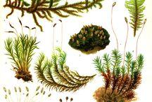 moss & liverwort