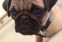 Pug Maggy....<3